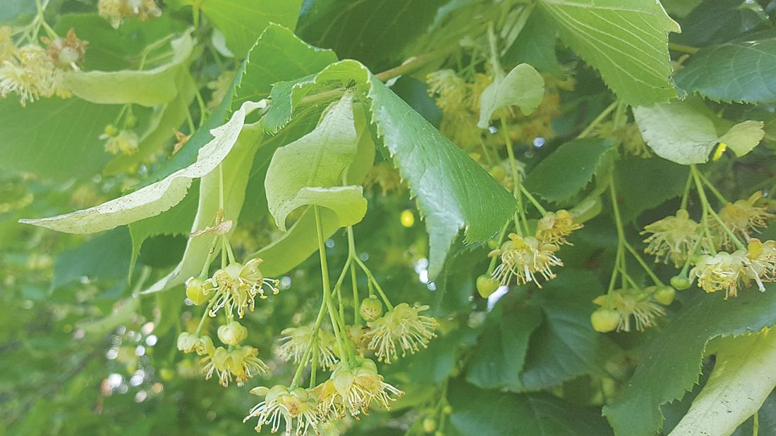 Nature on our doorsteps: Lime trees in flower