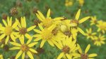 Nature on our Doorsteps: Ragwort's changing image