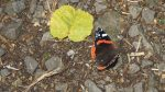 Nature on our doorsteps: Butterfly visitors